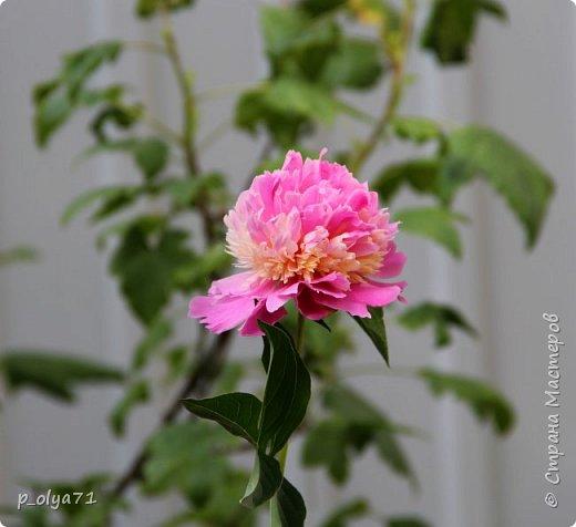 Здравствуйте!!!! Вот и лето к нам пришло,второй день жара не выносимая)) Всё цветёт и радует,вот в очередной раз хочу полюбоваться вместе с вами,мои дорогие!!) фото 69