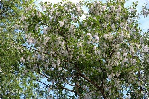 Здравствуйте!!!! Вот и лето к нам пришло,второй день жара не выносимая)) Всё цветёт и радует,вот в очередной раз хочу полюбоваться вместе с вами,мои дорогие!!) фото 56
