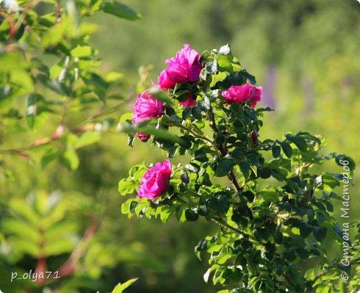 Здравствуйте!!!! Вот и лето к нам пришло,второй день жара не выносимая)) Всё цветёт и радует,вот в очередной раз хочу полюбоваться вместе с вами,мои дорогие!!) фото 90
