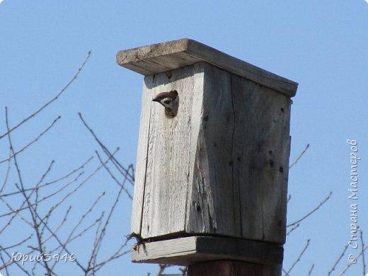 Глава воробьиного семейства... Каждый год воробьи селятся в домике, который я сделал ... фото 3