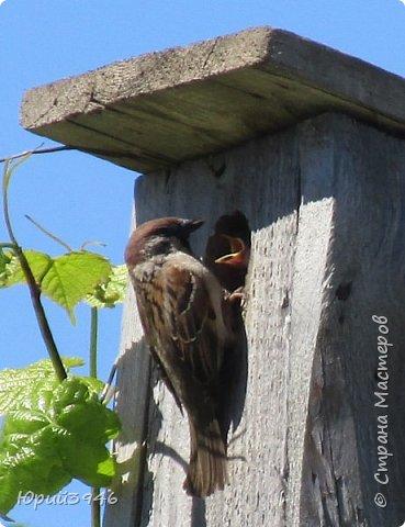 Глава воробьиного семейства... Каждый год воробьи селятся в домике, который я сделал ... фото 6