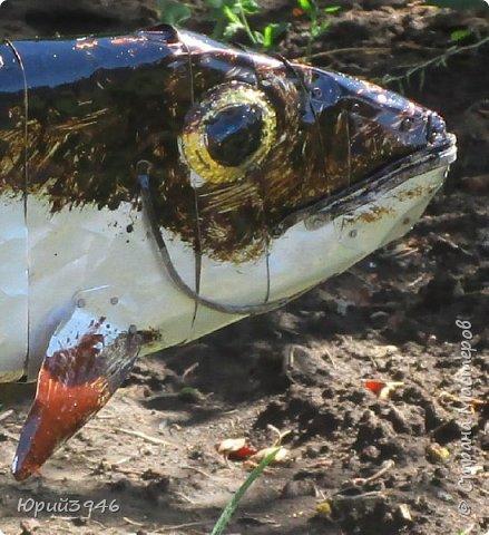 """Рыба над грядкой... Ранее я уже публиковал фотографии рыб над цветочными клумбами. Приведу ещё один пример использования """"бросовых"""" материалов... На  изготовление поделки потратил около трёх часов. Размер рыбы - около полуметра... Это - """"просто рыба"""", пробный вариант. Можно делать их конкретного вида, подбирая соответствующую форму и окраску... Я взял краску, какая оказалась в наличии фото 5"""