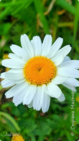 Вот такие цветы растут в нашем саду. фото 2