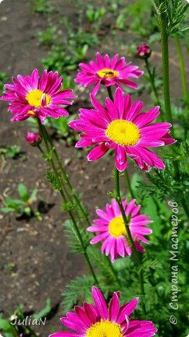 Вот такие цветы растут в нашем саду. фото 3