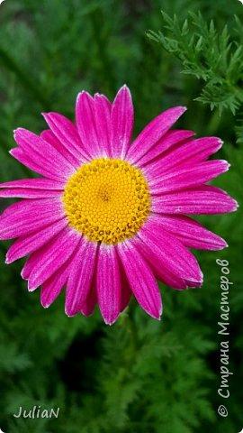 Вот такие цветы растут в нашем саду. фото 1