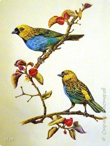 """Здравствуйте, друзья!  Представляю на ваш суд рисунок цветными карандашами Faber- Castell, бумага акварельная с фактурой """"Холст"""".Рисунок сделан по двум фотографиям самцов синегрудой танагры. Эти яркие птички населяют тропические леса Южной Америки.  фото 1"""