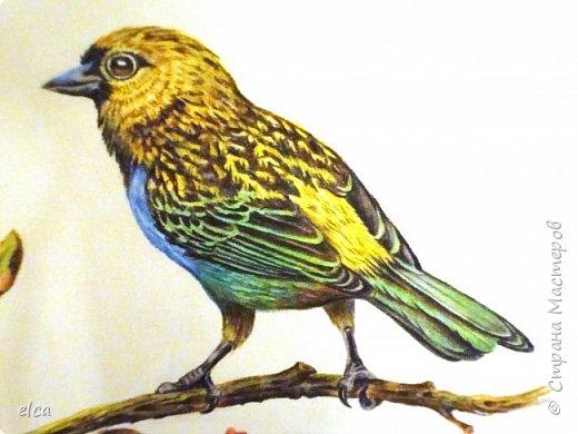 """Здравствуйте, друзья!  Представляю на ваш суд рисунок цветными карандашами Faber- Castell, бумага акварельная с фактурой """"Холст"""".Рисунок сделан по двум фотографиям самцов синегрудой танагры. Эти яркие птички населяют тропические леса Южной Америки.  фото 2"""