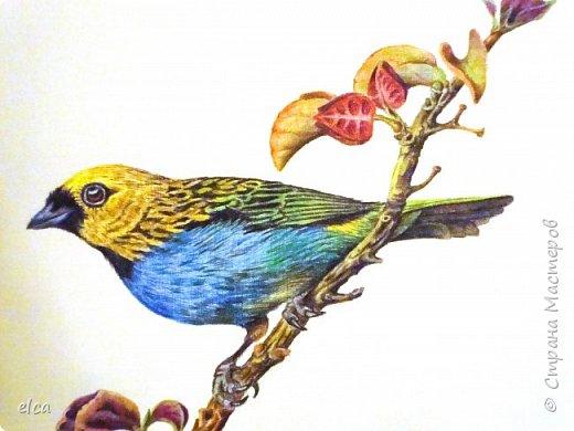 """Здравствуйте, друзья!  Представляю на ваш суд рисунок цветными карандашами Faber- Castell, бумага акварельная с фактурой """"Холст"""".Рисунок сделан по двум фотографиям самцов синегрудой танагры. Эти яркие птички населяют тропические леса Южной Америки.  фото 3"""