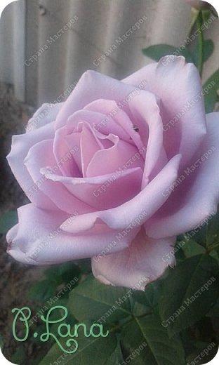 Здравствуйте,дорогие друзья .Сегодня хочу предложить Вам полюбоваться моими розами. Приятного всем просмотра. Роза сорт Боинг. фото 3