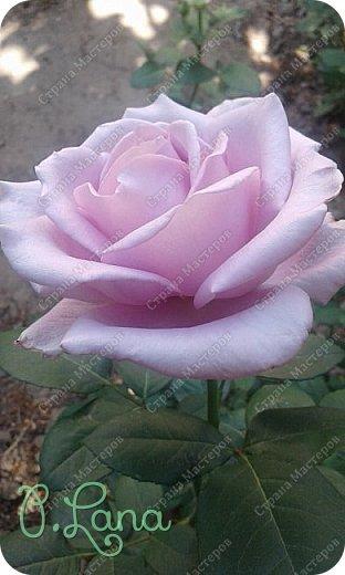 Здравствуйте,дорогие друзья .Сегодня хочу предложить Вам полюбоваться моими розами. Приятного всем просмотра. Роза сорт Боинг. фото 4