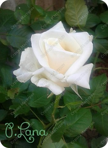 Здравствуйте,дорогие друзья .Сегодня хочу предложить Вам полюбоваться моими розами. Приятного всем просмотра. Роза сорт Боинг. фото 2