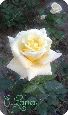 Здравствуйте,дорогие друзья .Сегодня хочу предложить Вам полюбоваться моими розами. Приятного всем просмотра. Роза сорт Боинг. фото 5