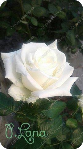 Здравствуйте,дорогие друзья .Сегодня хочу предложить Вам полюбоваться моими розами. Приятного всем просмотра. Роза сорт Боинг. фото 1