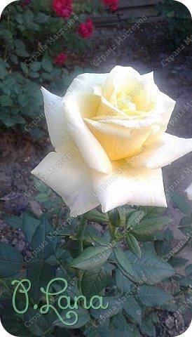 Здравствуйте,дорогие друзья .Сегодня хочу предложить Вам полюбоваться моими розами. Приятного всем просмотра. Роза сорт Боинг. фото 6