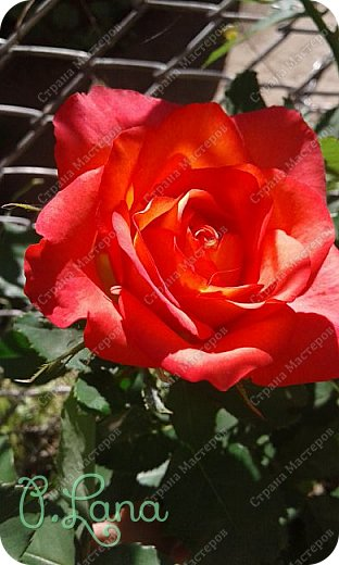 Здравствуйте,дорогие друзья .Сегодня хочу предложить Вам полюбоваться моими розами. Приятного всем просмотра. Роза сорт Боинг. фото 14