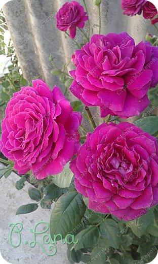 Здравствуйте,дорогие друзья .Сегодня хочу предложить Вам полюбоваться моими розами. Приятного всем просмотра. Роза сорт Боинг. фото 7