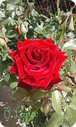 Здравствуйте,дорогие друзья .Сегодня хочу предложить Вам полюбоваться моими розами. Приятного всем просмотра. Роза сорт Боинг. фото 17