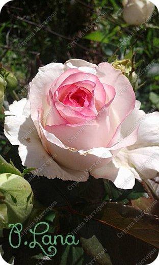 Здравствуйте,дорогие друзья .Сегодня хочу предложить Вам полюбоваться моими розами. Приятного всем просмотра. Роза сорт Боинг. фото 9