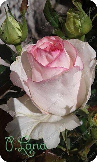 Здравствуйте,дорогие друзья .Сегодня хочу предложить Вам полюбоваться моими розами. Приятного всем просмотра. Роза сорт Боинг. фото 10