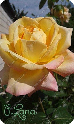 Здравствуйте,дорогие друзья .Сегодня хочу предложить Вам полюбоваться моими розами. Приятного всем просмотра. Роза сорт Боинг. фото 11