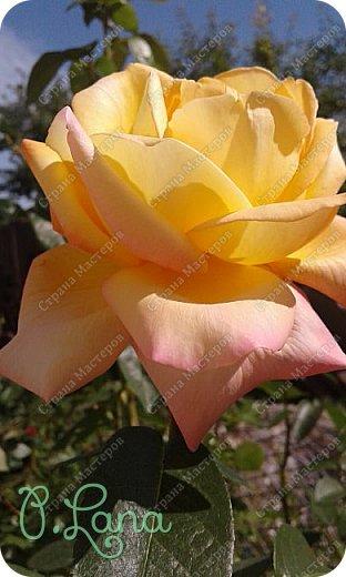 Здравствуйте,дорогие друзья .Сегодня хочу предложить Вам полюбоваться моими розами. Приятного всем просмотра. Роза сорт Боинг. фото 12