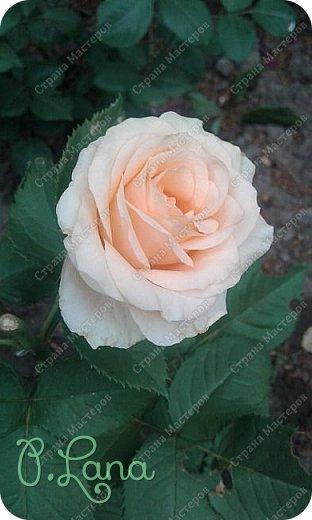 Здравствуйте,дорогие друзья .Сегодня хочу предложить Вам полюбоваться моими розами. Приятного всем просмотра. Роза сорт Боинг. фото 13