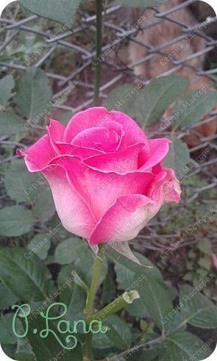 Здравствуйте,дорогие друзья .Сегодня хочу предложить Вам полюбоваться моими розами. Приятного всем просмотра. Роза сорт Боинг. фото 15