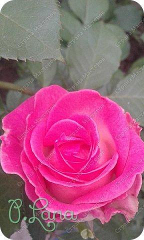 Здравствуйте,дорогие друзья .Сегодня хочу предложить Вам полюбоваться моими розами. Приятного всем просмотра. Роза сорт Боинг. фото 16
