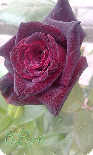 Здравствуйте,дорогие друзья .Сегодня хочу предложить Вам полюбоваться моими розами. Приятного всем просмотра. Роза сорт Боинг. фото 19