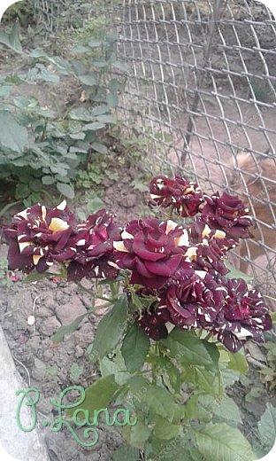 Здравствуйте,дорогие друзья .Сегодня хочу предложить Вам полюбоваться моими розами. Приятного всем просмотра. Роза сорт Боинг. фото 24