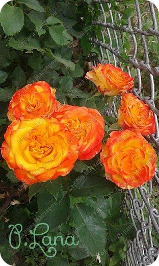 Здравствуйте,дорогие друзья .Сегодня хочу предложить Вам полюбоваться моими розами. Приятного всем просмотра. Роза сорт Боинг. фото 18