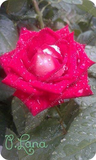 Здравствуйте,дорогие друзья .Сегодня хочу предложить Вам полюбоваться моими розами. Приятного всем просмотра. Роза сорт Боинг. фото 21