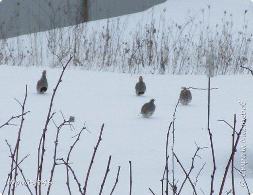 Куропатки - дикие курочки. Они частые гости в садах и огородах. Бегают быстро, а взлетают с шумом и неожиданно, вынуждая вздрогнуть. Летом, бывает, поклёвывают помидоры, а зимой собираются в стайки и бегают по полянкам и огородам. Эти снимки сделаны в начале марта. Здесь - куропатки на огороде фото 2
