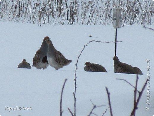 Куропатки - дикие курочки. Они частые гости в садах и огородах. Бегают быстро, а взлетают с шумом и неожиданно, вынуждая вздрогнуть. Летом, бывает, поклёвывают помидоры, а зимой собираются в стайки и бегают по полянкам и огородам. Эти снимки сделаны в начале марта. Здесь - куропатки на огороде фото 3