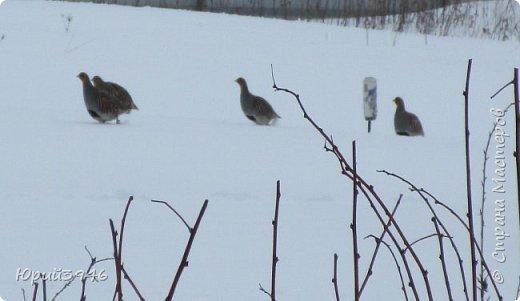 Куропатки - дикие курочки. Они частые гости в садах и огородах. Бегают быстро, а взлетают с шумом и неожиданно, вынуждая вздрогнуть. Летом, бывает, поклёвывают помидоры, а зимой собираются в стайки и бегают по полянкам и огородам. Эти снимки сделаны в начале марта. Здесь - куропатки на огороде фото 7