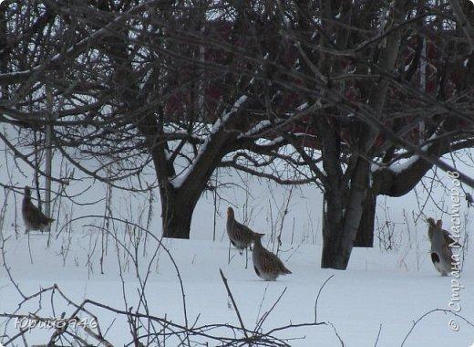 Куропатки - дикие курочки. Они частые гости в садах и огородах. Бегают быстро, а взлетают с шумом и неожиданно, вынуждая вздрогнуть. Летом, бывает, поклёвывают помидоры, а зимой собираются в стайки и бегают по полянкам и огородам. Эти снимки сделаны в начале марта. Здесь - куропатки на огороде фото 5