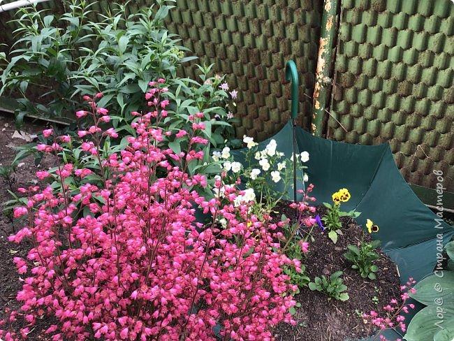 Ура, я в отпуске! Хочу  поделиться с вами красотой маминых цветов.                                      Это пиретрум. фото 10