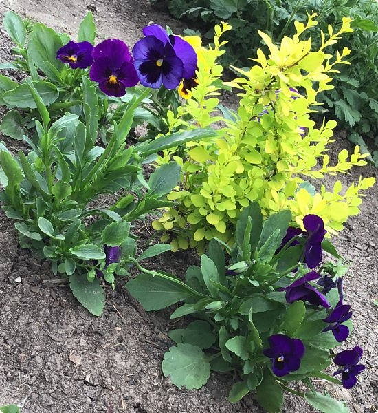 Ура, я в отпуске! Хочу  поделиться с вами красотой маминых цветов.                                      Это пиретрум. фото 6
