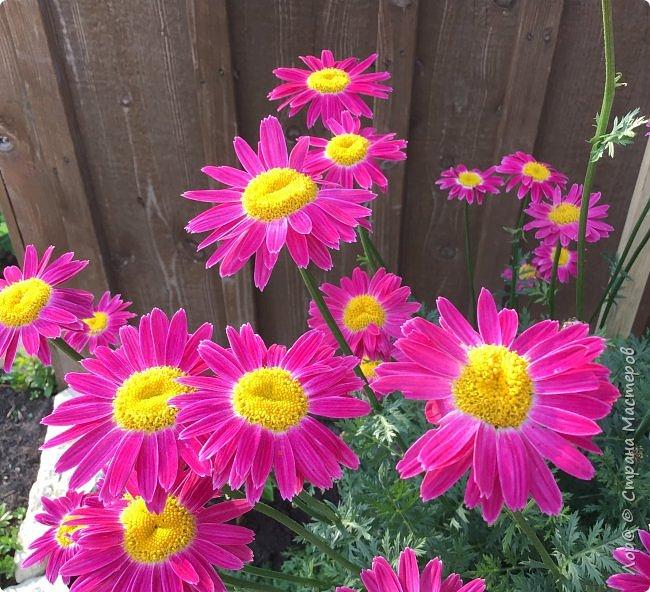 Ура, я в отпуске! Хочу  поделиться с вами красотой маминых цветов.                                      Это пиретрум. фото 1