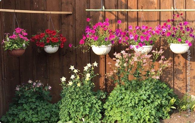 Ура, я в отпуске! Хочу  поделиться с вами красотой маминых цветов.                                      Это пиретрум. фото 8