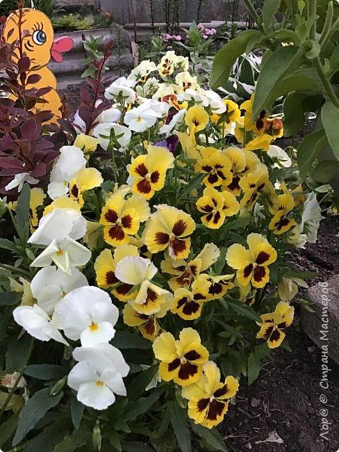 Ура, я в отпуске! Хочу  поделиться с вами красотой маминых цветов.                                      Это пиретрум. фото 7
