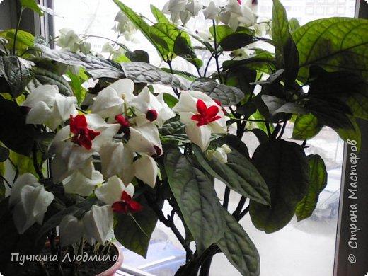 Решила сделать отливку из гипса своего любимого цветка - Клеродендрума Томпсона, покрасила, немного присыпала блестками........ посадила на него гусеницу..... фото 4