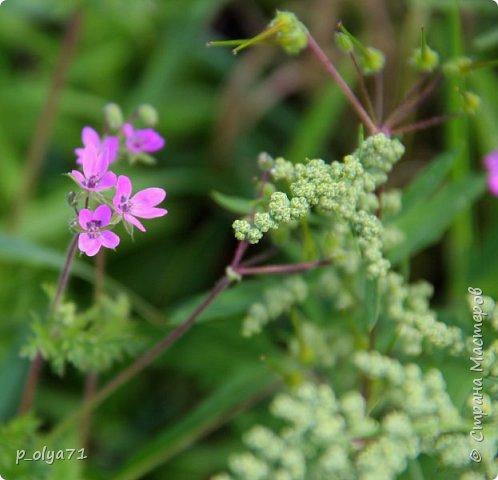Здравствуйте!! Продолжаю фотографировать цветочки,радующие своей красотой и делиться с вами!  фото 64