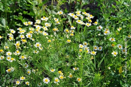 Здравствуйте!! Продолжаю фотографировать цветочки,радующие своей красотой и делиться с вами!  фото 62