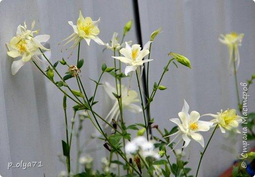 Здравствуйте!! Продолжаю фотографировать цветочки,радующие своей красотой и делиться с вами!  фото 39