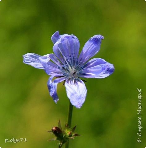 Здравствуйте!! Продолжаю фотографировать цветочки,радующие своей красотой и делиться с вами!  фото 59