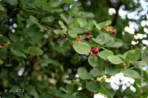 Здравствуйте!! Продолжаю фотографировать цветочки,радующие своей красотой и делиться с вами!  фото 50