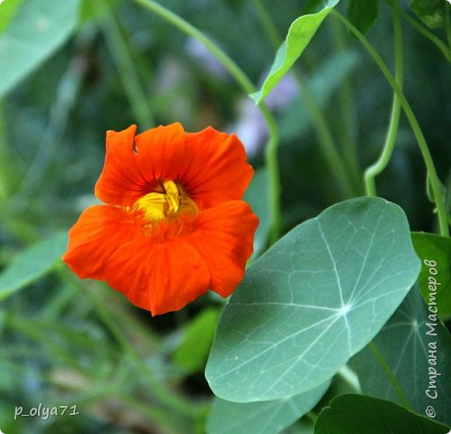 Здравствуйте!! Продолжаю фотографировать цветочки,радующие своей красотой и делиться с вами!  фото 53