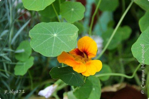 Здравствуйте!! Продолжаю фотографировать цветочки,радующие своей красотой и делиться с вами!  фото 52