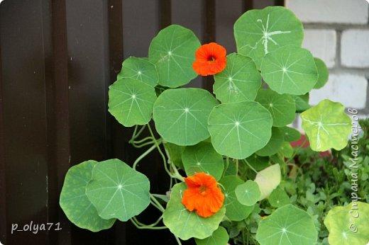 Здравствуйте!! Продолжаю фотографировать цветочки,радующие своей красотой и делиться с вами!  фото 51